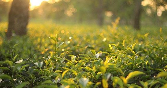 Componentes del té, sustancias contenidas