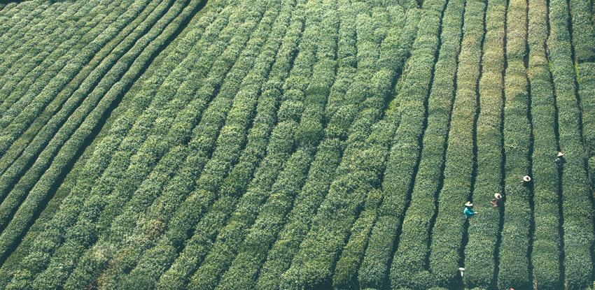 Plantacion de te - La producción tradicional de té