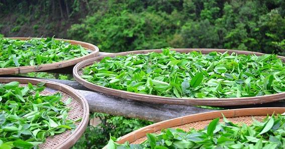 La producción de té