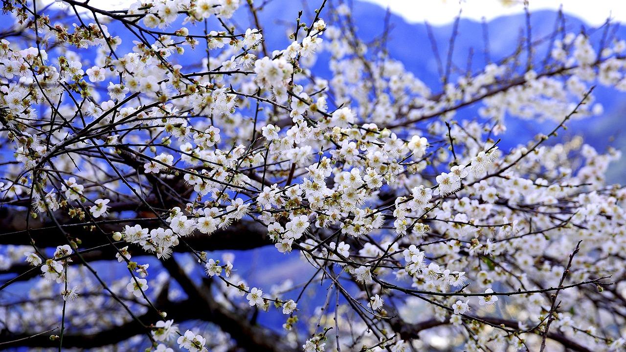 Ciruelo en Flor - La Flor de Ciruelo como símbolo