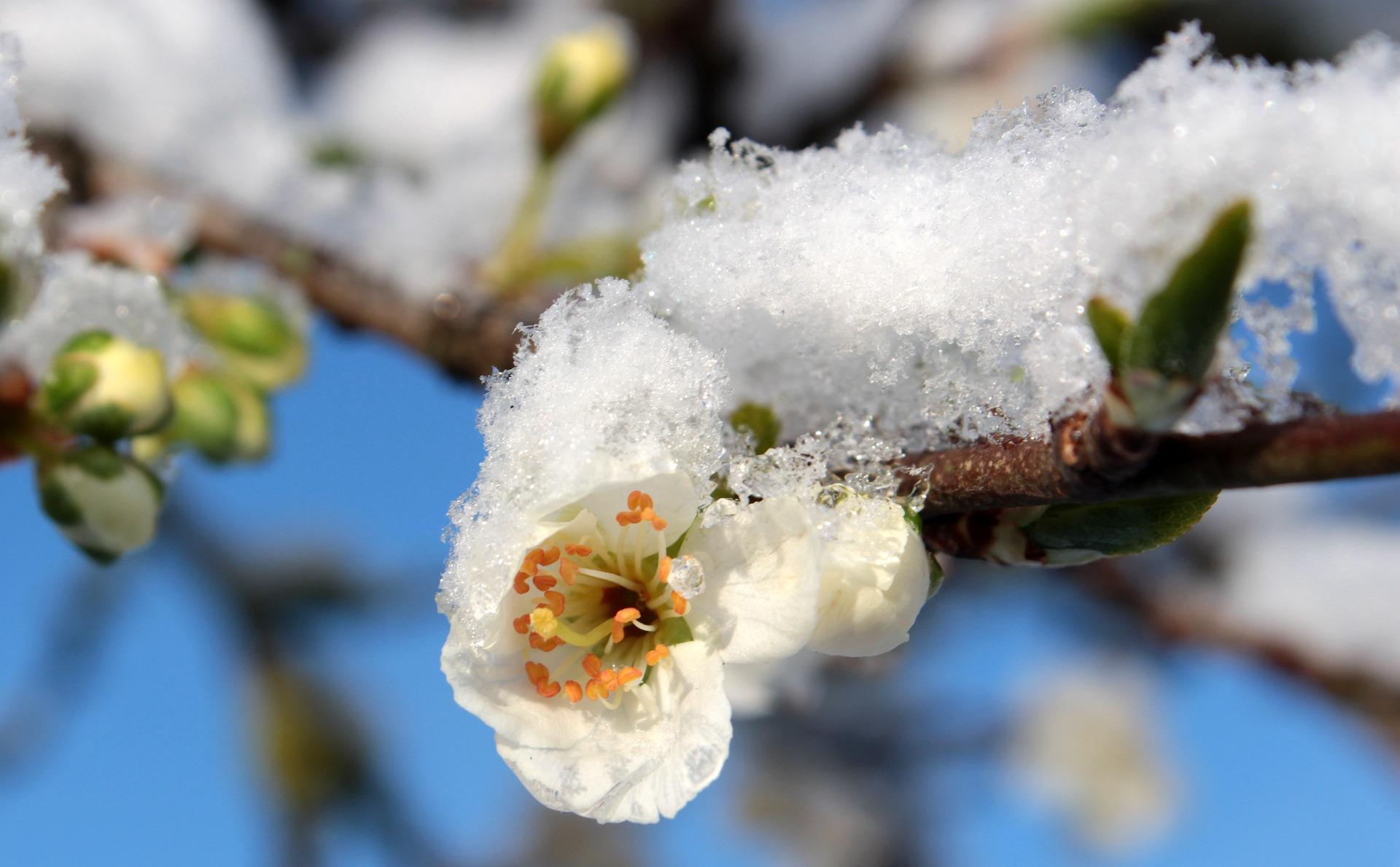 Flor de Ciruelo en la nieve - La Flor de Ciruelo como símbolo
