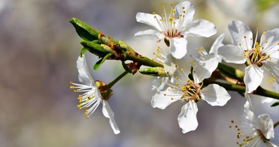La Flor de Ciruelo significado, plum blossom meaning,