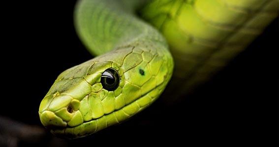 forma de la serpiente en el choy li fut, snake form of choy li fut, choy li fut snake form, forma de la serpiente kung fu,